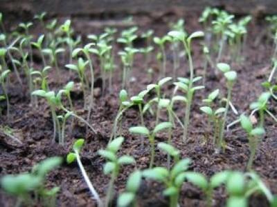 Зачем начинать выращивание рассады цветов в конце декабря?