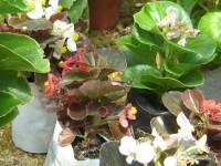 Бегония Вечноцветущая бывает с зеленой и бронзовой листвой