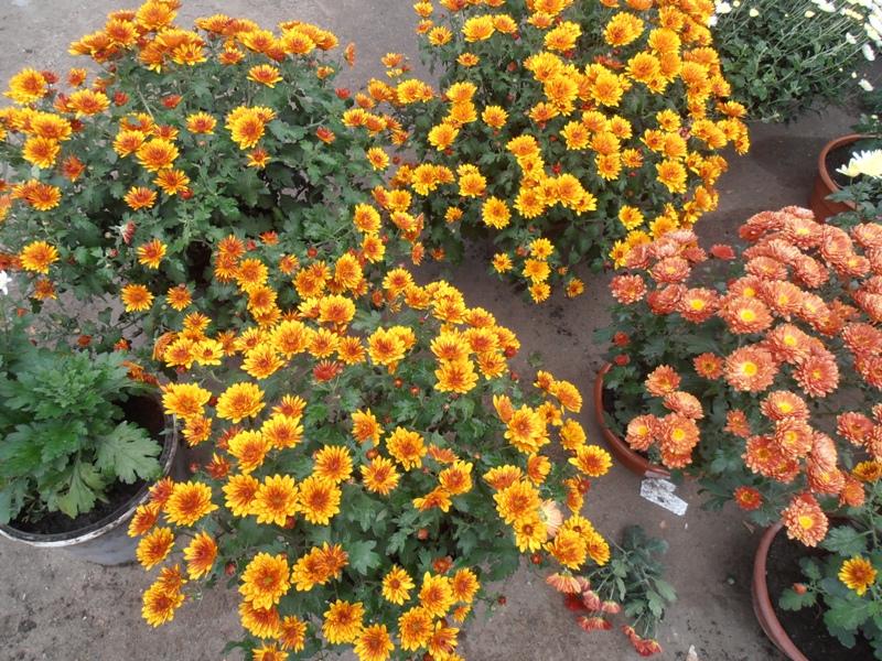 Хризантемы, Товар
