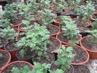 Черенки хризантем в горшках