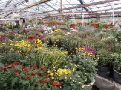 Заносим Хризантемы в теплицу для защиты от заморозков