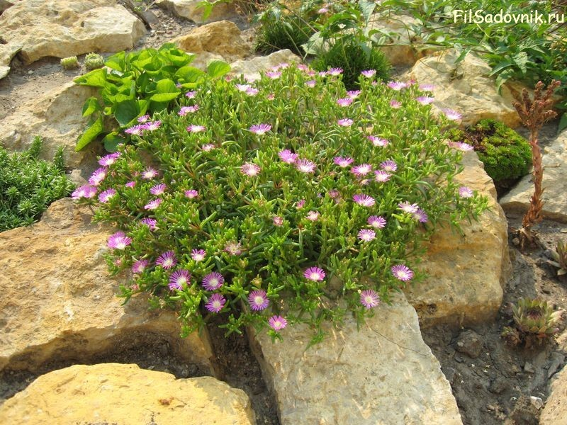 Цветы, Делосперма