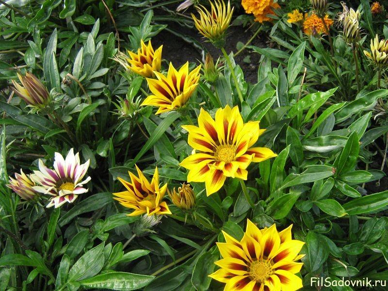 Цветы, Газания