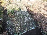 Установка рассады многолетников на зимовку в открытый грунт