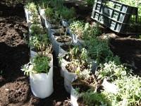 Лаванда: собираем урожай и отправляем на зимовку