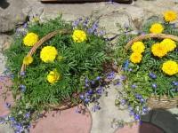 Желтое и Синее, Лобелии и Бархатцы в корзинах