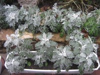 Цинерария Приморская пересаживается для зимовки в теплице