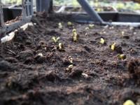 Прорастание семян Газании