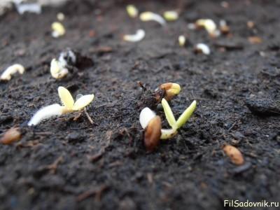 Продолжение посева и первые всходы