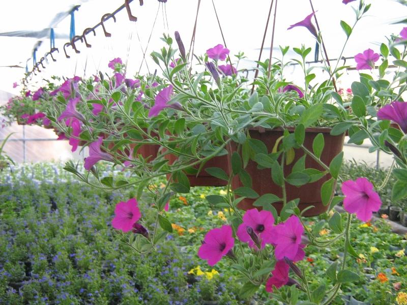 Собираем семена сами Petunia_ampel_seeds