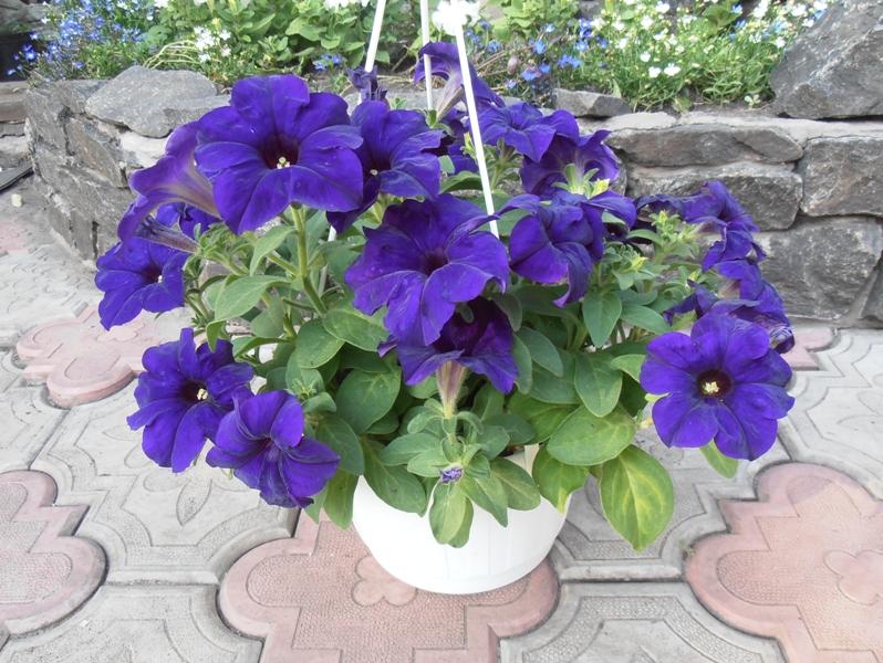 петунья садовые цветы фото