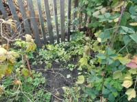 Древовидные Пиончики из своих семян | Пион