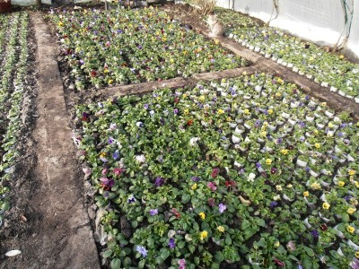 Удаляем цветы с Анютиных Глазок