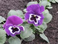 Виола зацветает в год посева