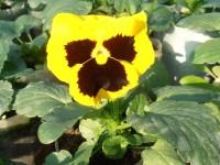Обстановка на фронте выращивания рассады анютиных глазок 2 Октября