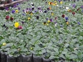 Технология выращивания Viola wittrockiana Dynamite® от SAKATA