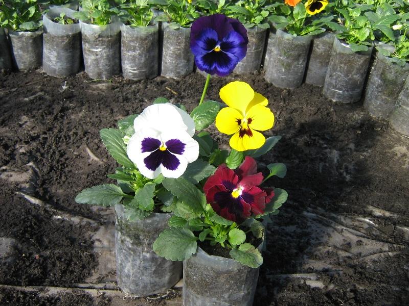 Виола выращивание рассады 20