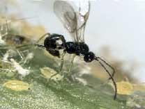 Aphidius colemani Vier - паразит различных видов тлей