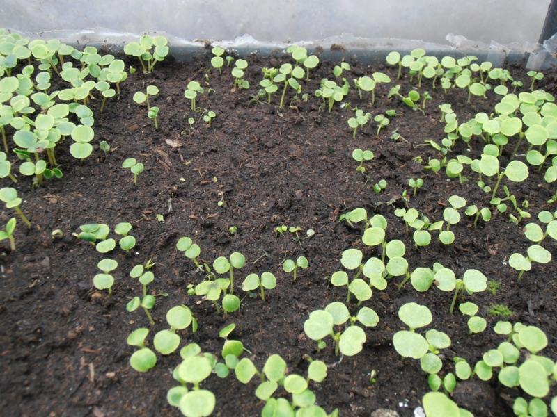 Сколько семечек бальзамина посадить на рассаду в один горшочек 62