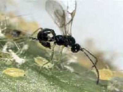 Видео о борьбе с вредными насекомыми при помощи их естественных врагов.