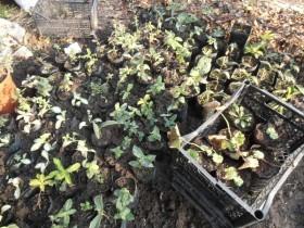Погружаем стаканчики с рассадой многолетников в землю