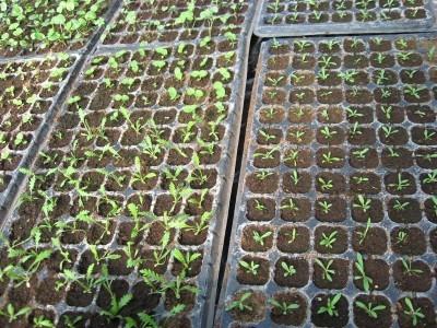 Пикируем сеянцы многолетних растений в рассадные кассеты