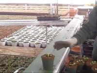 Производство рассады Анютиных Глазок в тепличном комплексе