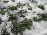 Виолы под снегом