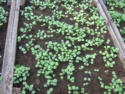 Приемущества и недостатки высева семян в ящики и в рассадные кассеты