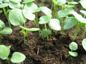 Агротехника выращивания Анютиных Глазок Династия от Китано