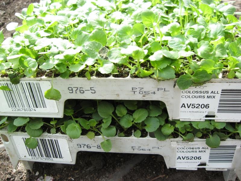 Выращивание огурцов в теплице по голландской технологии 68