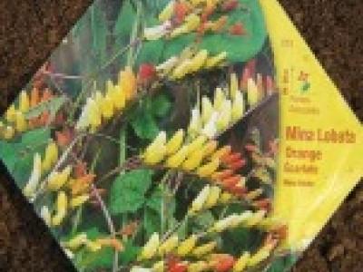 Наконец то семена Mina Lobata всходят.