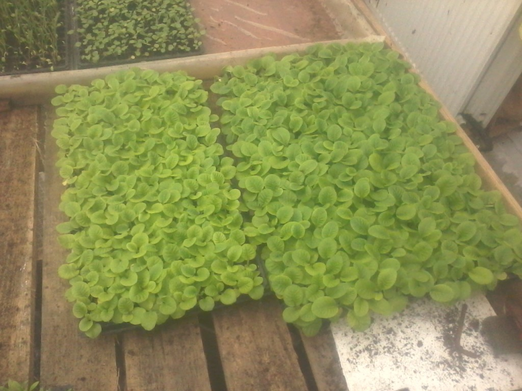 Выращивание примулы в теплицах 86