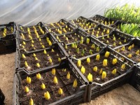 Размещаем на выгонку к 8 Марта луковичные: Гиацинты и Тюльпаны