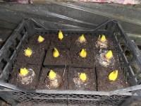 Из-за теплой погоды луковицы Гиацинтов растут в погребе