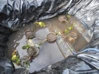 Посадка водной лилии Нимфеи