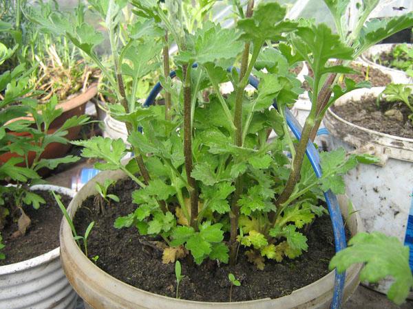 Обрезка хризантемы в горшке в домашних условиях 979