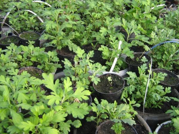 Как сажать черенок хризантемы