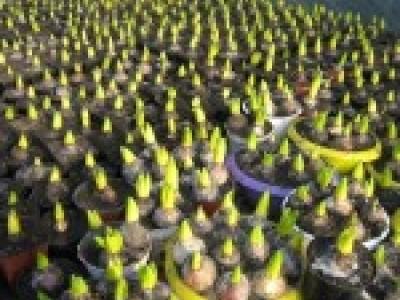 Гиацинты и хризантемы 14 февраля.