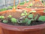 Ампельная петуния из своих семян в кашпо